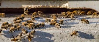 Пчелы на входе улья - знамени сети Стоковые Фото