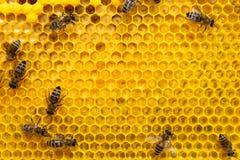 Пчелы на клетке с личинками Выводки пчел стоковая фотография