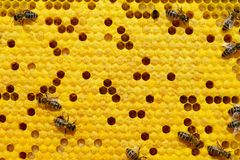 Пчелы на клетке с личинками Выводки пчел стоковая фотография rf