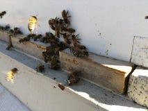 Пчелы на переднем конце входа крапивницы вверх Пчела летая для того чтобы hive Трутень пчелы меда входит крапивницу Крапивницы в  Стоковая Фотография