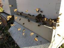 Пчелы на переднем конце входа крапивницы вверх Пчела летая для того чтобы hive Трутень пчелы меда входит крапивницу Крапивницы в  Стоковые Фото