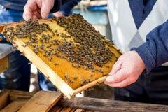 Пчелы на рамке сота Beekeeper держит рамку сота в своем Стоковые Изображения