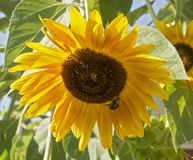 Пчелы на солнцецвете Стоковая Фотография RF