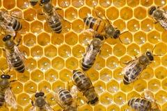 Пчелы на сотах Работа пчел в команде Стоковое Изображение RF