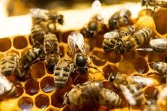 Пчелы на соте с медом Пчелы работника герметизируют сот стоковые фото