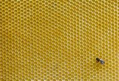 Пчелы на соте Стоковое Фото