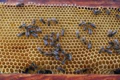 Пчелы на соте стоковая фотография