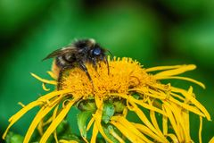 Пчелы на цветке Стоковая Фотография
