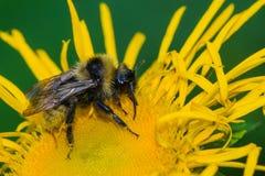 Пчелы на цветке Стоковое Изображение RF