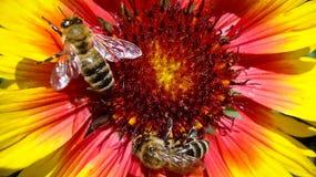 2 пчелы на цветке Стоковые Изображения RF