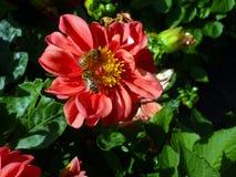 Пчелы на цветке Стоковая Фотография RF