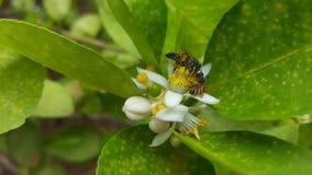 Пчелы на цитрусе Стоковые Изображения