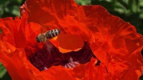 Пчелы один за другим летают в середину цветка мака сток-видео
