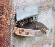 Пчелы около деревянного входа крапивницы Стоковые Фотографии RF