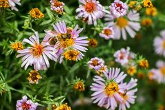 Пчелы опыляя солнцецветы Стоковое Фото