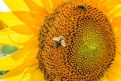 Пчелы опыляя солнцецветы Стоковые Фотографии RF