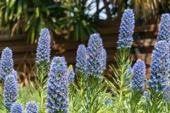 Пчелы опыляя экзотические голубые цветки на flowerbed в саде Стоковые Фотографии RF