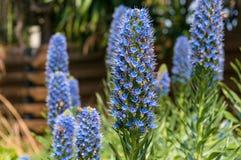 Пчелы опыляя экзотические голубые цветки на flowerbed в саде Стоковая Фотография RF