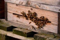 пчелы приезжают в улей Стоковое Изображение RF
