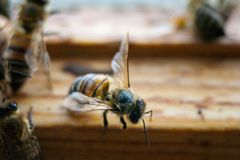 Пчелы работая прикарпатский конец-вверх породы Стоковая Фотография RF