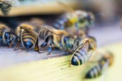 Пчелы работая прикарпатский конец-вверх породы Стоковое фото RF