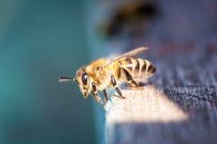 Пчелы работая прикарпатский конец-вверх породы Стоковая Фотография