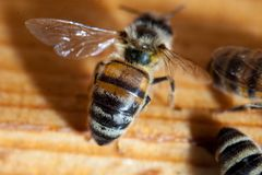 Пчелы работая прикарпатский конец-вверх породы Стоковые Фото