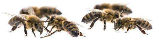 Пчелы работника Стоковое Фото