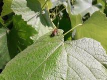 Пчелы сидят на лист виноградины Стоковое Изображение RF