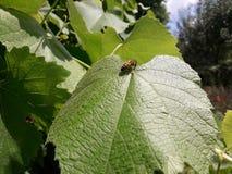 Пчелы сидят на лист виноградины Стоковая Фотография
