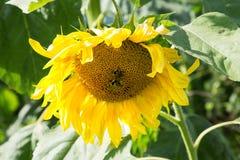 2 пчелы сидят на солнцецвете на лете Стоковое фото RF