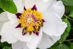 Пчелы собирают нектар от цветка похожего на дерев пиона в парке дальше стоковая фотография