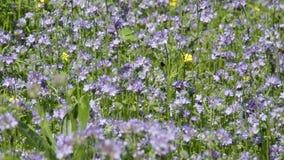 Пчелы собирают нектар от цветков Phacelia сток-видео