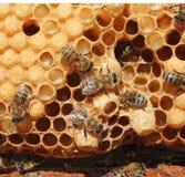 Пчелы ферзя коконов будущие Стоковая Фотография RF