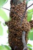 пчелы Стоковая Фотография