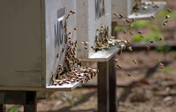 пчелы hive возвращающ их к Стоковые Фото