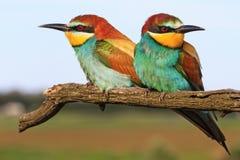 Пчел-едок пар европейский сидя на ветви Стоковые Фотографии RF