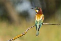 Пчел-едок, apiaster Merops Насекомое есть птицу стоковое фото
