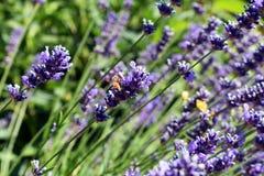 Пчела английской лаванды и меда стоковое изображение