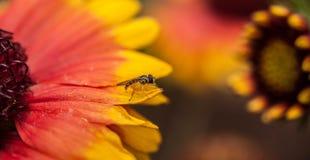 Пчела Билли Стоковое Фото