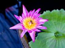 Пчела внутри розового лотоса стоковые фотографии rf