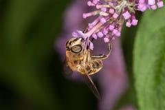 Пчела всасывает цветень Стоковое Изображение