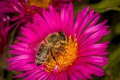 Пчела выбирая вверх мед Стоковая Фотография