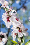 Пчела в белой миндалине Стоковая Фотография RF