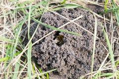 Пчела в отверстии Стоковые Изображения RF