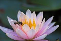Пчела в лотосе Стоковые Изображения