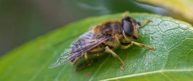 Пчела в покое стоковое изображение rf