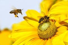 Пчела в полете и георгин Cav сада георгина Стоковые Изображения RF
