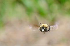 Пчела в полете Стоковые Фотографии RF