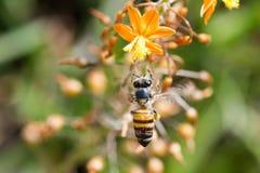 Пчела в полете Стоковое фото RF